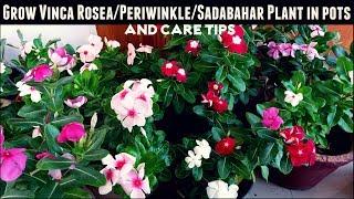 How to Grow Vinca Rosea/Periwinkle/Sadabahar Plant in Pots & Care Tips