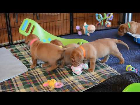 Dogue de Bordeaux Puppies Playing
