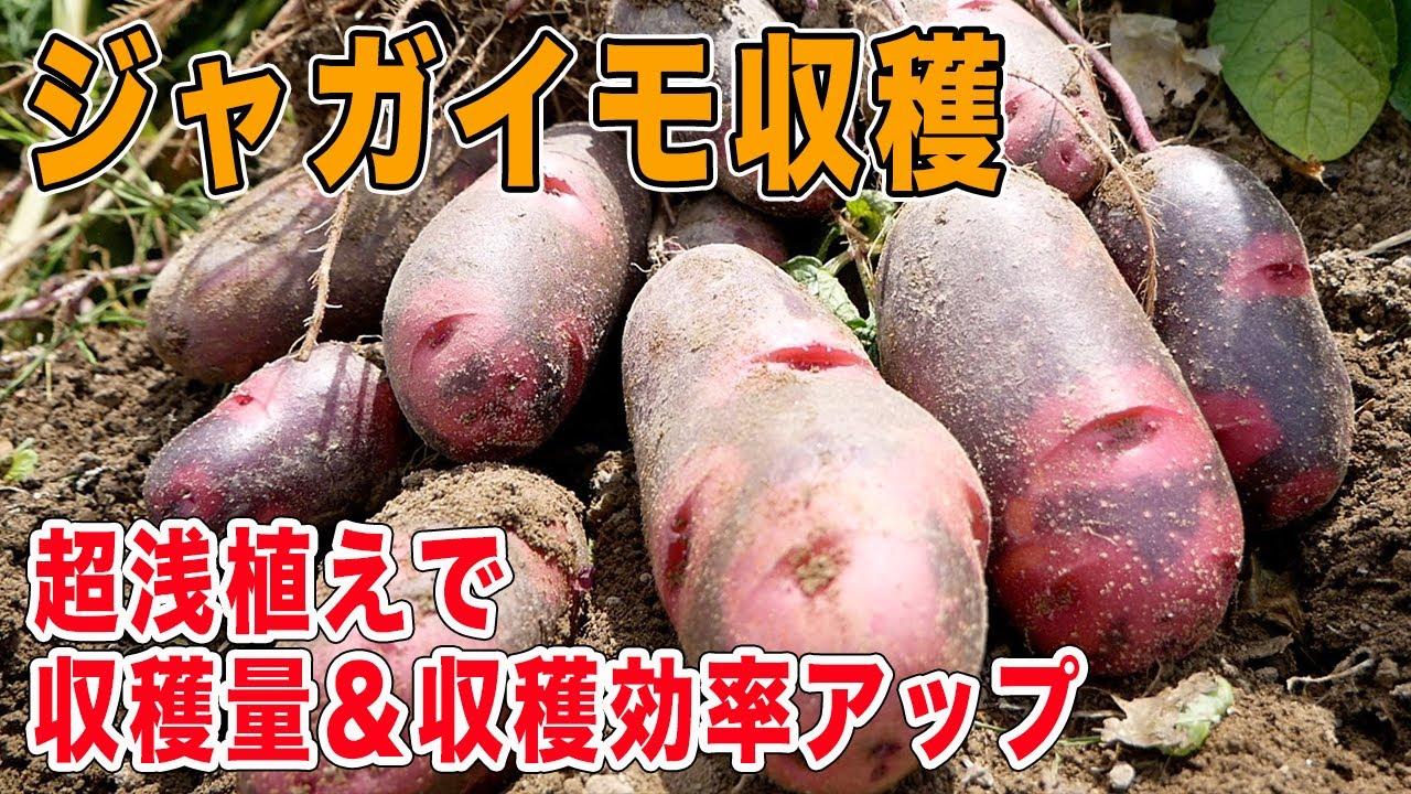 ジャガイモ収穫!置くだけ植えは収穫が楽!収穫量も満足♪