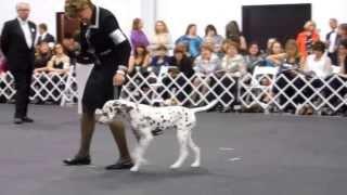 Dalmatian Club Of America 2013 Top 20 (long Version) - Go Spot Go - Pauli