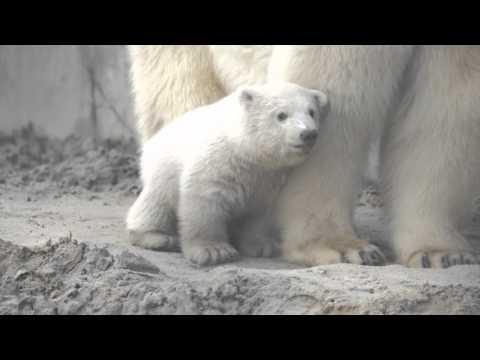 Polar Bear Cub's First Day in Dig Yard!