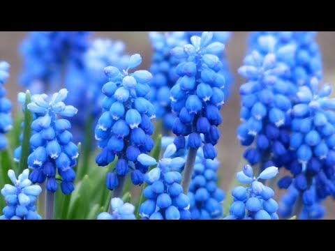 "Peaceful Relaxing Instrumental Music, Meditation Inspirational Music ""Flowers of Spring"" Tim Janis"