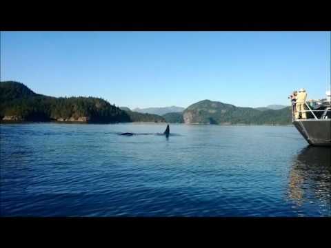 Heriot Bay Orcas (Killer Whales)