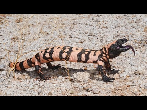 The World's Most Poisonous Lizard Gila Monster