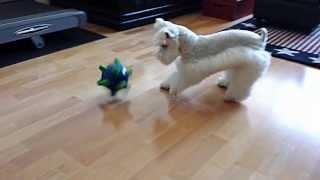White Toy Schnauzer Charlie