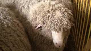 Северокавказская мясошёрстная порода овец на Всероссийской выставке овец г. Элиста