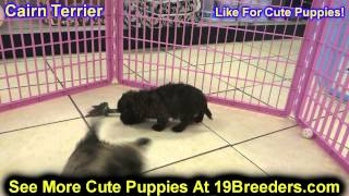 Cairn Terrier, Puppies, For, Sale, In, Allegheny, Pennsylvania, Pa, Bucks, Chester, County, Berks, D