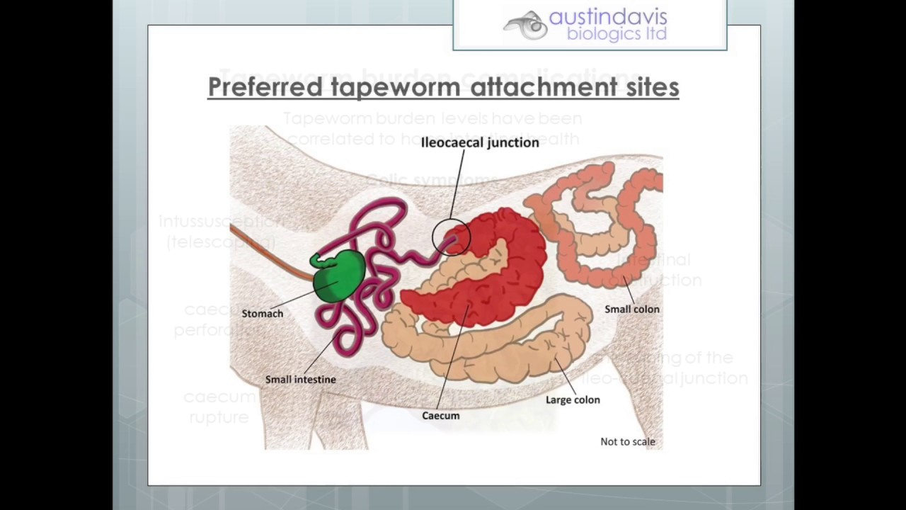 Horse tapeworm infection and testing options youtube horse tapeworm infection and testing options pooptronica