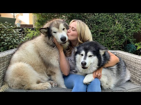 Giant Fluffy Alaskan Malamutes Love Attention