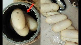 Vợ cắt đôi ống thoát nước phát hiện 9 quả trứng kì lạ liền bỏ vào nồi luộc, chồng vừa về Vứt nó ngay