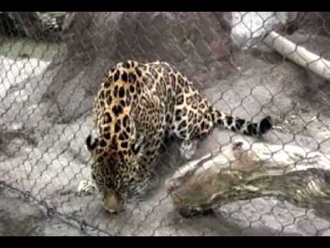 Jaguar training at the Henry Doorly Zoo