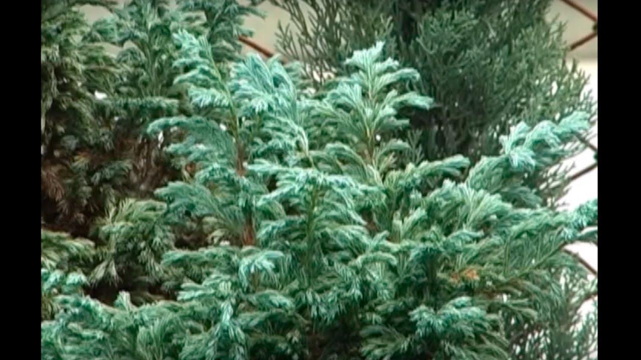 C mo sembrar pinos ornamentales tvagro por juan gonzalo for Especies ornamentales