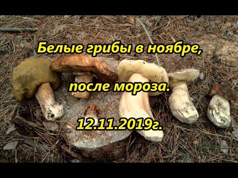 Белые грибы в ноябре, после мороза. 12.11.2019г.