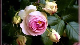 La rose et le rosier  Jean Blanchard