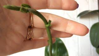 Фаленопсис Liodoro (Лиодоро) наконец то вырастил цветонос! Лиодоро орхидея в домашних условиях.