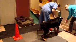 Doberman Pinscher - Therapeutic Exercises For Dogs