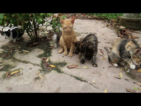 Cute kitten meowing staying after eating food | cat meowing staying