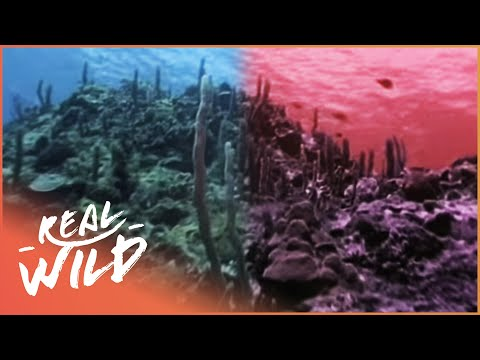 The Coral Reefs Are Dying [Marine Life Documentary]   Wild Things