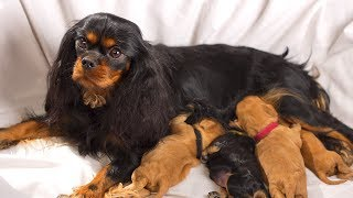 Cavalier King Charles Spaniel  The intelligent Dog Breed Giving Birth To Many Cute Puppies