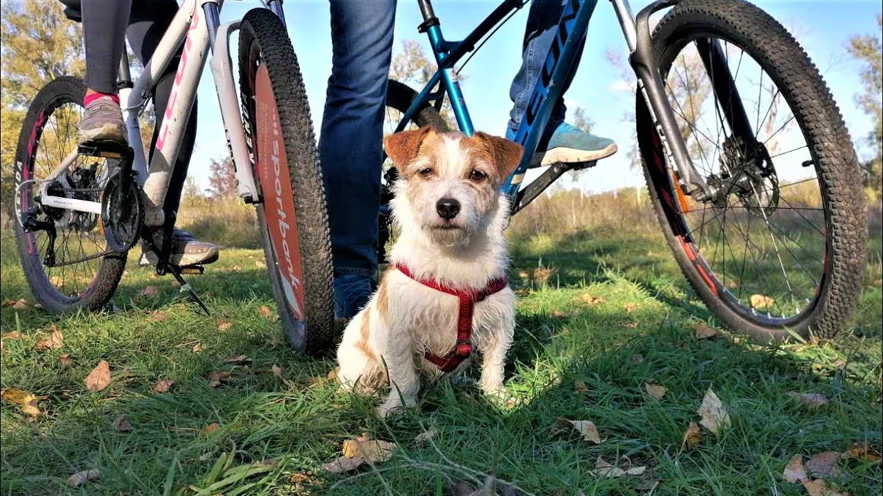 Riding a bike with a dog. Jumping dog / Funny dog / Funny Jack Russell Terrier Hilda