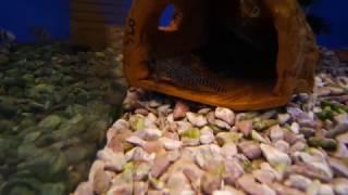 Аквариумная рыбка - Синодонтис сом.