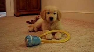 Jesse, Golden Retriever, Puppy, At Quiet Play