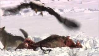 Coyote vs Bald Eagles - Yellowstone - BBC Yellowstone is one of the snowiest places in America and, as winter progresses, it rapidly transforms into a wonderland. But for Yellowstone's wildlife, it's a finely balanced fight for survival as bald eagles and a coyote fight over a carcass. Visit http://www.bbcearth.com for all the latest animal news and wildlife videos and watch more high quality videos on the BBC Earth YouTube channel