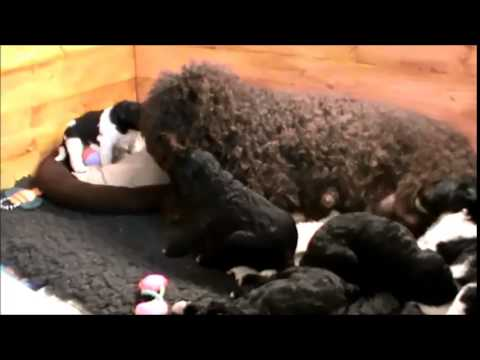 Barbet (French Water Dog) puppies at 3 weeks old