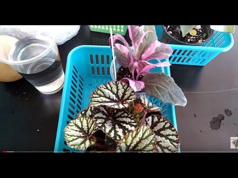 Комнатные цветы . Хорошо ,что стала пересаживать  растения с выставки !!