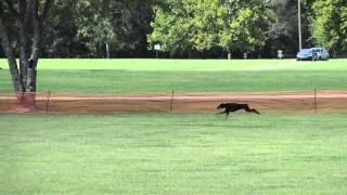 Doberman AKC Coursing Ability