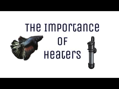 The Importance Of Heaters || Betta Fish