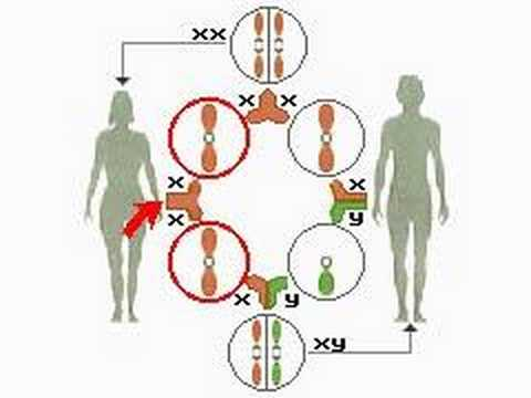 How the Body Works : The Sex Chromosomes