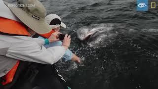 Meeting Gray Whales | Baja California | Lindblad Expeditions-National Geographic thumbnail