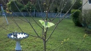 Giant Luna Moth!!