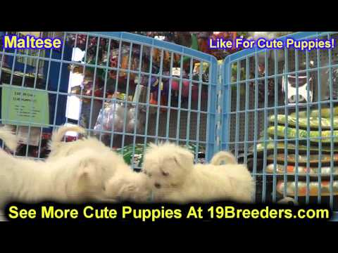 Maltese, Puppies, For, Sale, In, Newark, New Jersey, NJ, Woodbridge, Iselin, Pleasantville, Roselle,