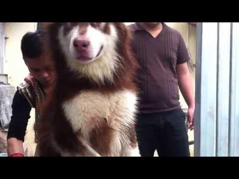 Tùng Lộc Pet: Sấy lông thằng Alaskan Malamute nâu đỏ