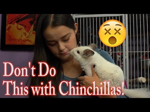 Dangers to Chinchillas | The DON'Ts of Chinchilla Care from YouTube · Duration:  5 minutes 35 seconds