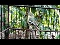 Burung Sirtu Cipo Ngetir Gacor Plong Abis Dengan Enjoinya  Mp3 - Mp4 Download