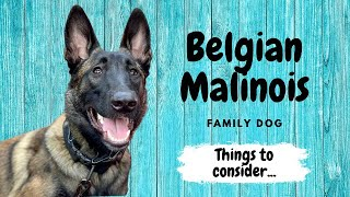 Belgian Malinois Family Dog  Things to Consider