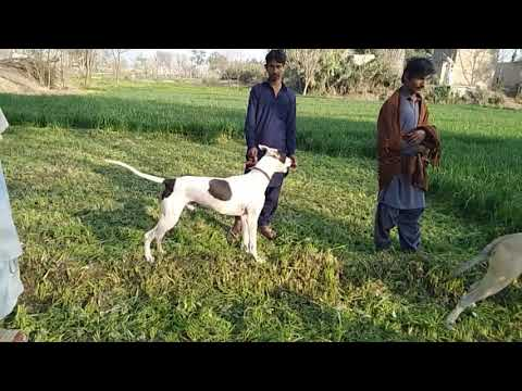 Jhazi  kathy ka mix  dogs best and exiting dog new dogs shekari dogs and pigs 2020