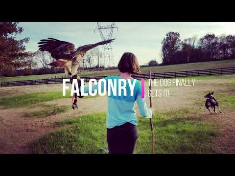 Falconry: The Dog Figures It Out!