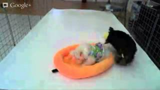 Teacup Yorkie Puppy & Teacup Maltese Puppy Playtime At Star Yorkie Kennel
