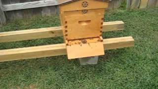 Beekeeping: My Bees Are Being Robbed!