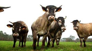 La bazadaise, une vache d'exception - Météo à la carte