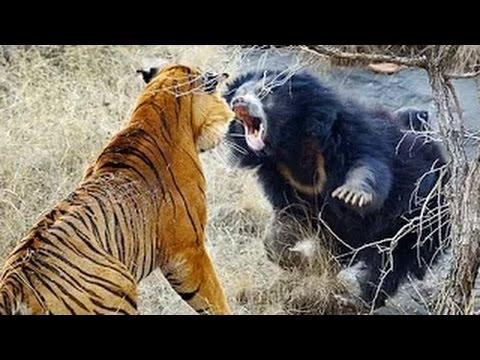 Kaplan Vs Ayı -Vahşi Hayvan Dövüşleri
