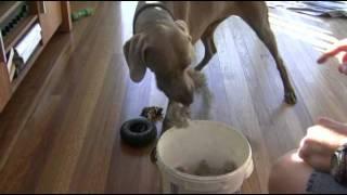 Dog Puts Toys Away