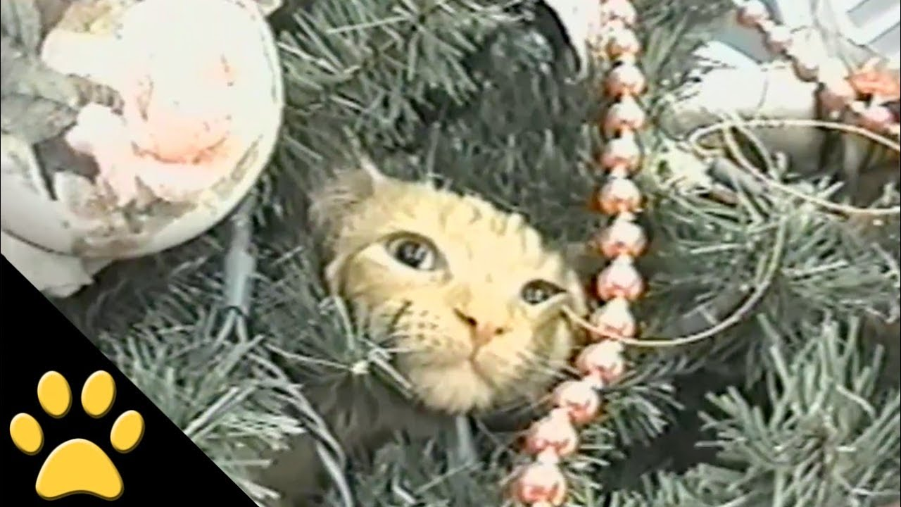 Cats In Christmas Trees: Compilation   YouTube