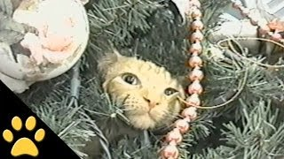Cats In Christmas Trees: Compilation