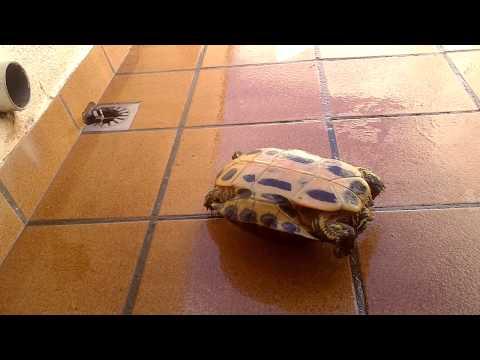 mi tortuga tere se da la vuelta sola