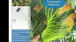 Xanthomonas Campestris Pathovars